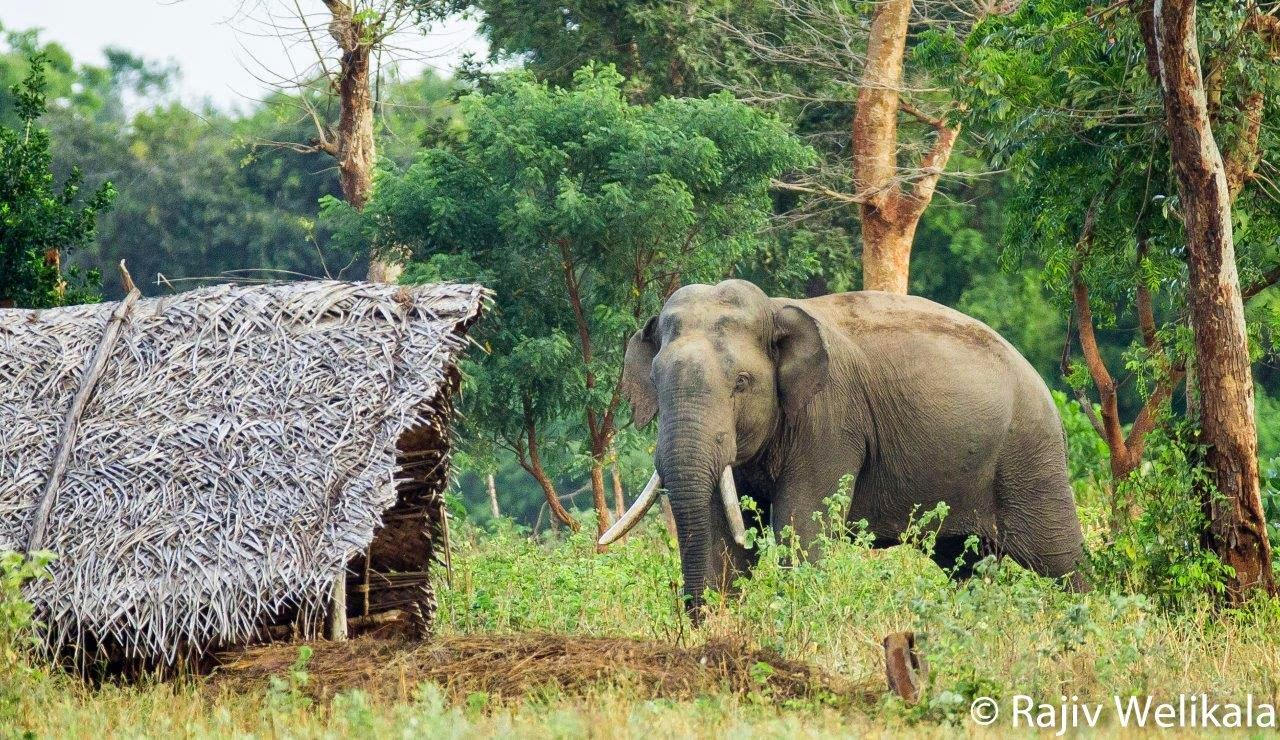Human Elephant Conflict in Sri Lanka : Part 2 : A way towards a solution